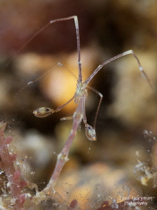 Skeleton Shrimp in details...